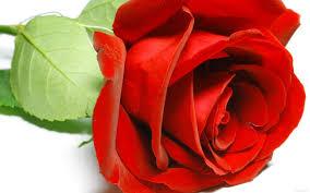 تحميل خلفيات الصورة وردة حمراء Chervona Troyanda عريضة