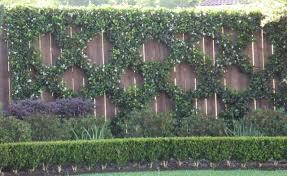 Star Jasmine Picture Plants Garden Wall Plant Wall Vertical Garden