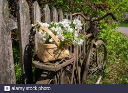 Basket Of White Spring Flowers On An Old Bicycle Parked Against A Rustic Wooden Picket Fence Outdoors In A Garden Stock Photo Alamy