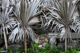 Coral And Palm Leaf Fence High Res Stock Photo Getty Images