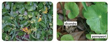 dollarweed friend or foe gardening