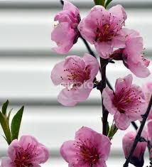 Peach tree | Tree Blossoms | Flowers | Pixoto