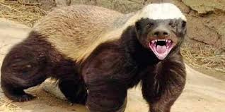 and the honey badger the new