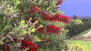 Callistemon Slim Bottle Brush 10 Pot Hello Hello Plants Garden Supplies