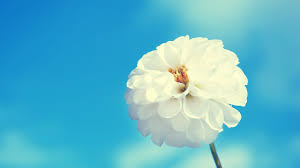 white flower hd wallpapers top free