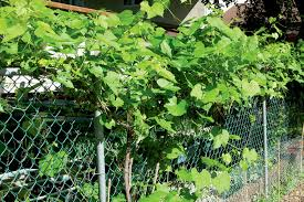 Non Flowering Climbers Green Up Property Winnipeg Free Press