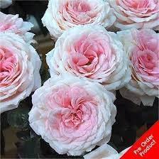Rose Myras Bridal Pink   Garden Roses   Scented Roses