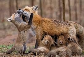 red fox family sony uk
