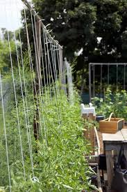 How To String Train Tomatoes New Way To Stake Tomatoesthe Art Of Doing Stuff