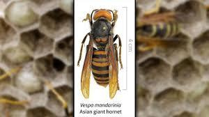 Invasive, giant 'murder hornets' have ...