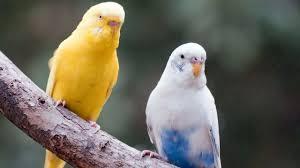 خلفيات طيور الحب اجمل صور عن طائر الحب اغراء القلوب
