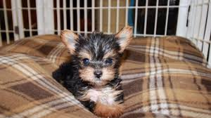 teacup toy yorkie puppies near