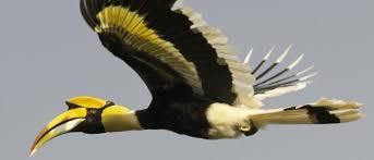 Hornbill Hunting hits Forest Regeneration - International Tree ...