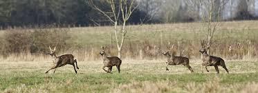 Image result for roe deer