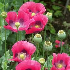 poppy seeds pepperbox