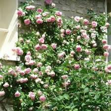 6 Gorgeous Rose Bushes You Should Plant This Year Millcreek Gardens