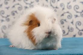 finding the best guinea pig cage cage