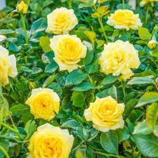 yellow rose bushes plants garden