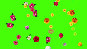 flower fall green screen free
