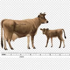 تكساس قرون البقر لحوم البقر العجل الثور الألبان الماشية الماشية