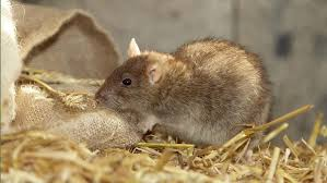 Top 10 Ways To Control Rats On Farm Farmers Weekly