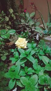 كيفية زراعة الورد البلدى فى المنزل مؤسسة المهندسين الاستشاريين
