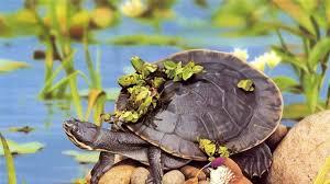 40 turtle wallpapers wallpaperboat
