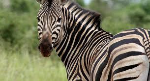 Ученые выяснили, зачем зебрам полоски