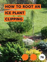 how to root an ice plant clipping
