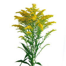 sel® eVita | Solidago Cuttings | Selecta | Selecta Cut Flowers