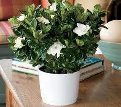 gardenia houseplants white flower