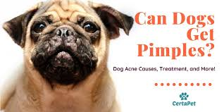 can dogs get pimples dog acne causes