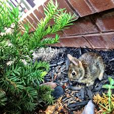 Baby Rabbit Hiding Behind A Bush Stock Photo 437604f1 6dd2 4cce 9770 60ca3ac7fcd2
