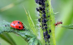 Bladluis bestrijden? 10 tips om bladluizen te bestrijden in uw planten