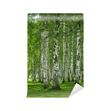 Birchwood Forest Wall Mural Pixers We Live To Change