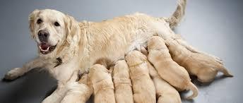 La mise bas d'une chienne et la naissance des chiots | Purina