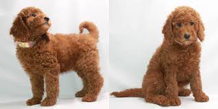 toy poodle breeder akc puppies for