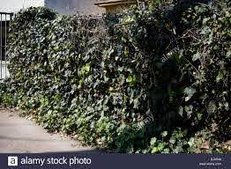 An Algerian Ivy Vine On A Chain Link Fence Illustrates The Plant S Stock Photo Alamy