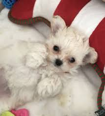 chihuahua toy poodle cross chi poo