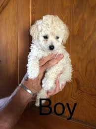 toy poodle chihuahua cross puppies