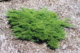 juniperus sabina monna calgary