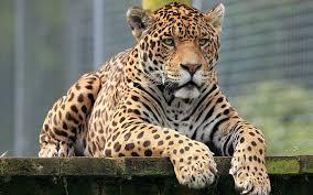 hd wallpaper s close up jaguar