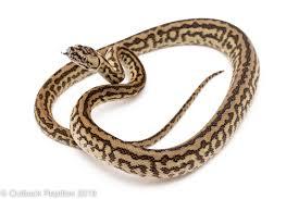 zebra carpet female outback reptiles