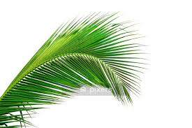 Leaves Of Palm Tree Isolated On White Background Wall Decal Pixers We Live To Change