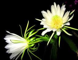 霸王花是火龙果的花吗,说说两者的区别及神秘联系-吃货资讯-好菜杰