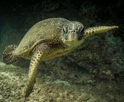 Https Www Traffic Org Site Assets Files 12524 Se Asia Marine Turtle Trade Pdf