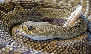 How To Rattlesnake Proof Your House And Yard To Keep Them Away