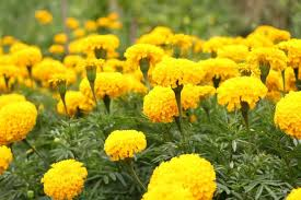 plant and grow marigold flowers