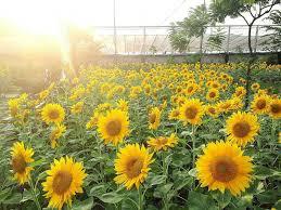 koleksi kata kata indah tentang bunga matahari com