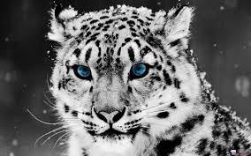خلفيات نمر أبيض